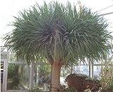 Seedeo Drachenbaum (Dracaena draco) 6 Samen