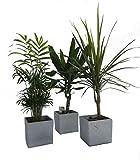 Pflanzenservice Zimmerpflanzen Palmen-Trio im Scheurich Würfeltopf grau-stone, circa 14 x 14 x 14 cm, 3 Pflanzen und 3 Töpfe, grün