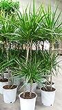 Dracaena marginata 150 cm /- , 2 Stämme Drachenbaum,Drachenlilie