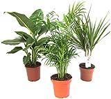 Pflanzenservice Zimmerpflanzen Set aus 1x Diefenbachie, 1x Zimmerpalme und 1x Drachenbaum (Dracaena marginata), 10-12 cm Topf