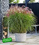 BALDUR-Garten Miscanthus 'Red Cloud®',1 Pflanze