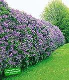 Flieder-Hecke,1 Pflanze
