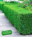 BALDUR-Garten Buchsbaum-Hecke, 5 Pflanzen Buxus sempervirens