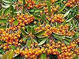 10 Stück Pyracantha 'Orange Chamer' * (Feuerdorn Orange Charmer), Feuerdornhecke, immergrüne Heckenpflanze, * Topfballen 15-25 cm