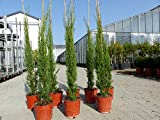 Mittelmeerzypresse 'Totem' 120 cm Säulen Toskana Zypresse Cupressus Sempervirens (3)