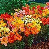 Asiatische Lilien 10 Frische Blumenzwiebeln Lilium Mix bunt gemischt