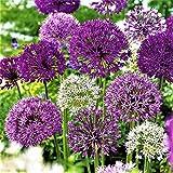 BIG SET Garten Zierlauch Riesen Allium Mix Lila weiß 50 Blumenzwiebeln