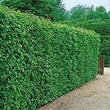 Hainbuchen-Hecke, 5 Pflanzen mit festem Wurzelballen/Topf, ca. 50 cm hoch für 1 - 1,5 Meter Hecke