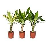 Zimmerpflanzen von Botanicly – 2 × Drachenbaum – Höhe: 45 cm – Dracaena Yellow Coast