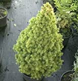 Zuckerhutfichte Rainbows End 25-30cm - Picea glauca