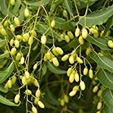 AGROBITS 50 Samen Azadirachta Indica Niembaum Indian Nimtree