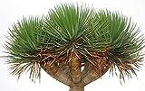 Kanarischer Drachenbaum - Dracaena draco- 10 Samen