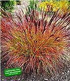 BALDUR Garten Chinaschilf Red Chief 1 Pflanze Miscanthus sinensis winterhart Chinagras