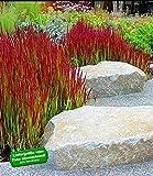 BALDUR Garten Ziergras 'Red Baron', 3 Pflanzen, Japanisches Blutgras Flammengras, Imperata cylindrica winterhart Garten-Ziergräser
