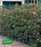 BALDUR Garten Ilex-Hecke 'Heckenfee®', 5 Pflanzen, Ilex meserveae